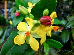 Ochna kirkii (Mickey Mouse Plant, Bird's Eye Bush), showing yellow flowers and bud-like red calyxes