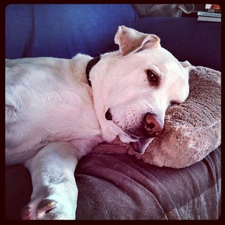 Zeus says Good Morning IG! I wish I could curl back up with my #pillow like he has with my #Brookstone #NAP pillow that he loves so much! #dogstagram #ilovemyseniordog #ilovemydogs #morning