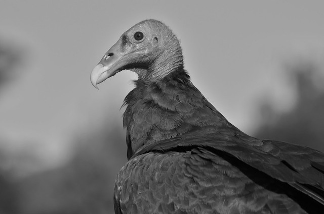 Turkey vulture, they can be beautiful too.