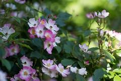 2016 Spring rose #4