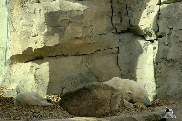 Eisbär Lilli im Zoo Bremerhaven 30.04.2016 Teil 2  172