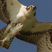IMG_4229 Osprey with fish by cmsheehyjr
