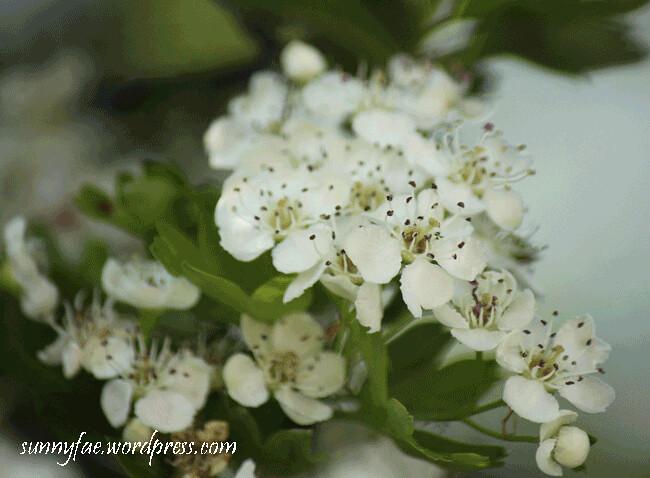 hawthorn-blossom-1