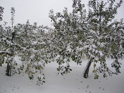 Snowy apple farm