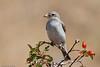 Masked Shrike juvenile by Johannes D. Mayer