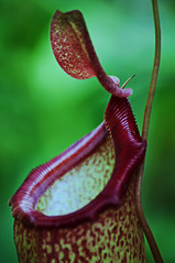 pitcher plant, flower, red, plant, macro photography, flora, green, close-up, plant stem,