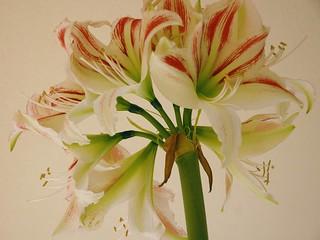 amaryllis met 8 bloemen