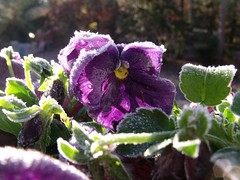 frosty pansy by Teckelcar