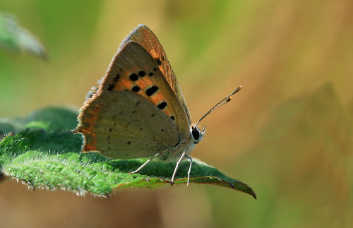 Mariposa - Lycaena phlaeas