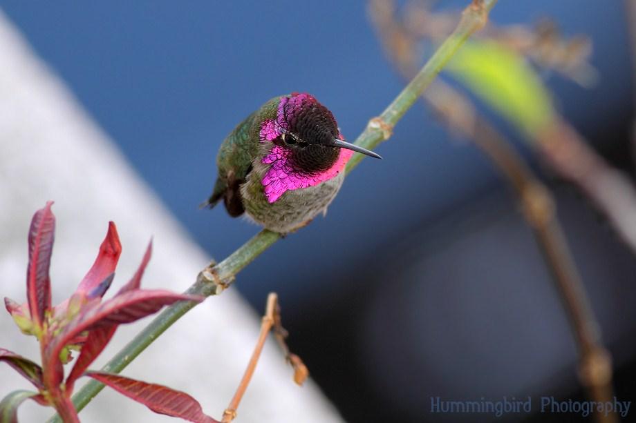 Anna's Hummingbird 120111-4