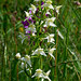 Greater Butterfly Orchid (Tom McJannet)