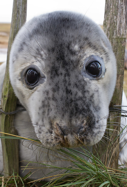 Seal pup at fence