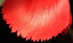 Tuberous begonias / Begonia x tuberhybrida / 球根(きゅうこん)ベゴニア
