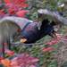 Small photo of Bateleur Eagle in Flight