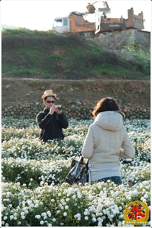 2011.12.03 銅鑼杭菊-10