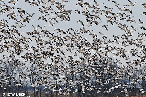 SnowGeese001