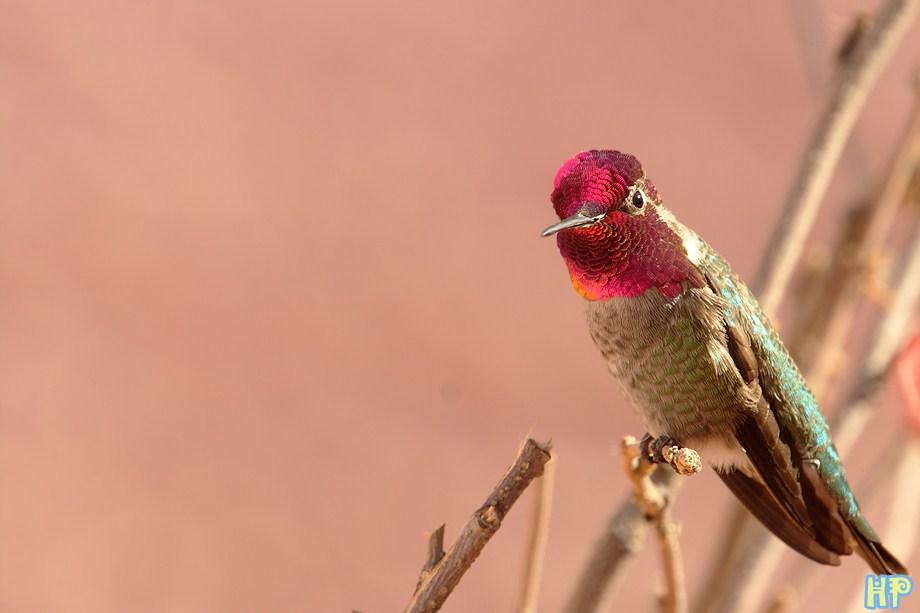 Anna's Hummingbird 120711-4