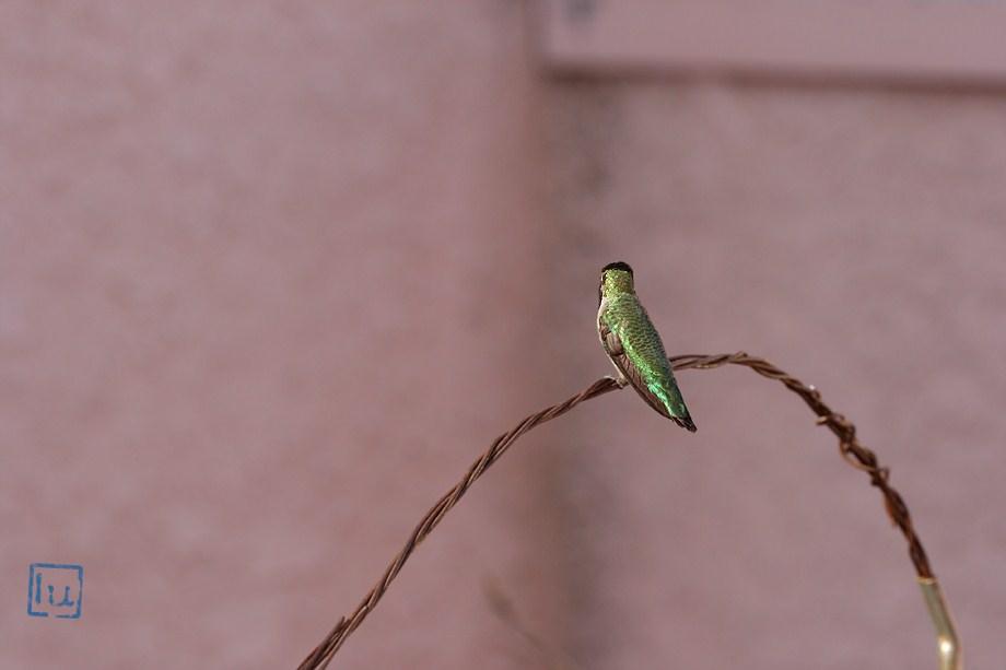 Anna's Hummingbird 120711-6
