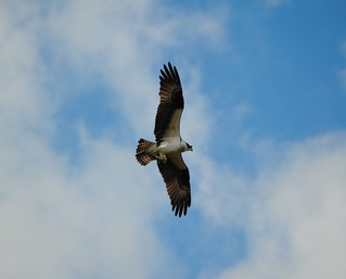 The Graceful Osprey!