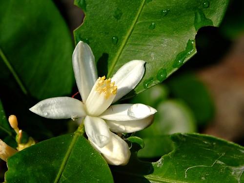 mandalina çiçeği