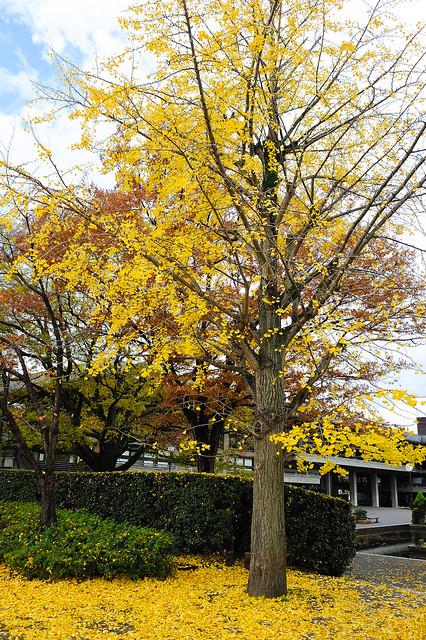 葉子掉快光的銀杏