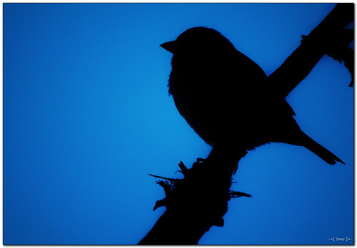 blue bird nature silhouette wildlife sparrow minimalism hs10 hs11