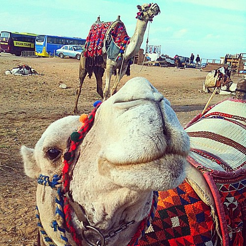 Camel fun at the Giza Pyramids in #Egypt. How can you not love this face?