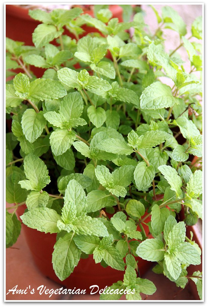 Mint Plant in my balcony