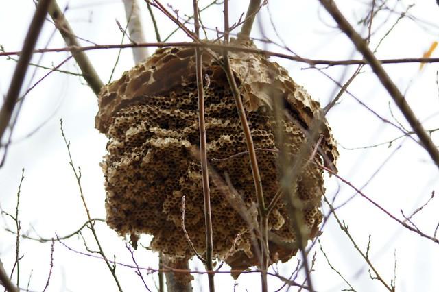 Nid de frelons asiatiques flickr photo sharing - Petit nid de frelon ...