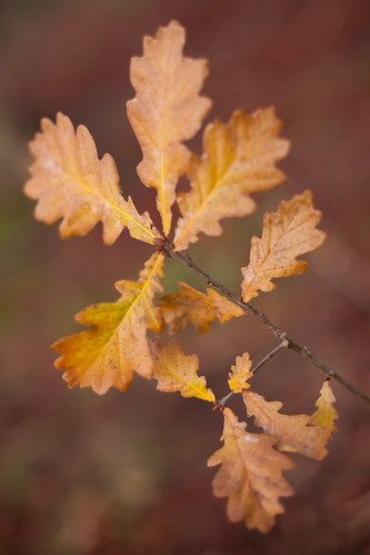988/1000 - Oak leaves by Mark Carline