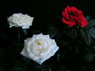 (364/365) Roses