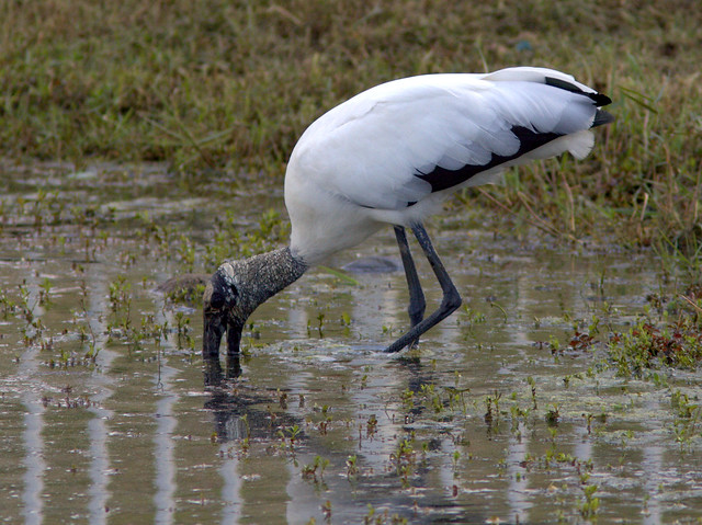 Wood Stork 2-20120101