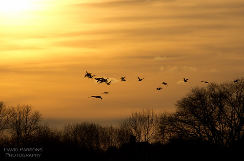 Neponset River - Geese taking flight