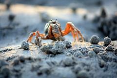 arthropod, crab, animal, ocypodidae, seafood, invertebrate, macro photography, fauna, close-up, wildlife,