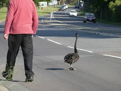 swan on road</a></ins>