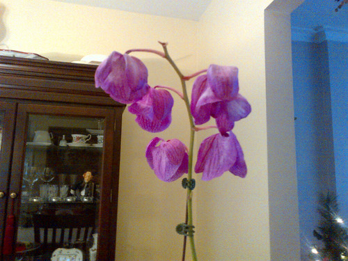 Orchid Just Wilted Can I Revive It Helpfulgardener