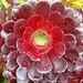Aeonium arboreum (Dawn Nelson)