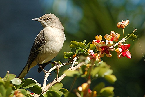 Mockingbird on Lignum vitae... head turned but alert by jungle mama