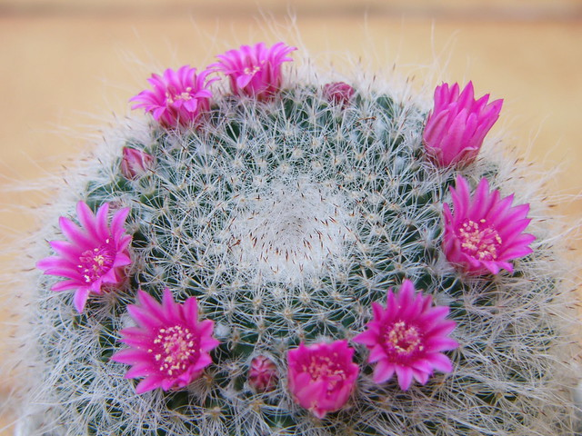 unidentified cactus flower