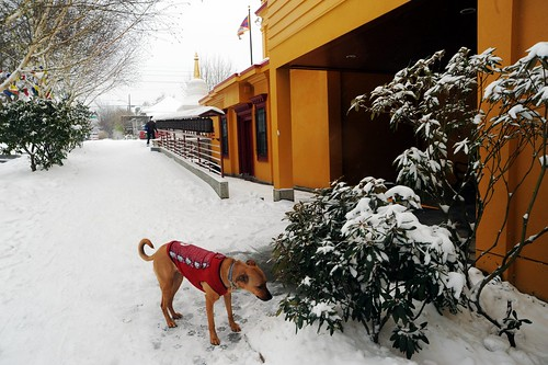 "Rosie sniffing bushes at Sakya Monastery of Tibetan Buddhism on a snowy day, warm in her red ""Hello Kitty"" jacket, Padmasambhava's prayer wheel walk, stupa, Tibetan national flag, Seattle, Washington, USA by Wonderlane"
