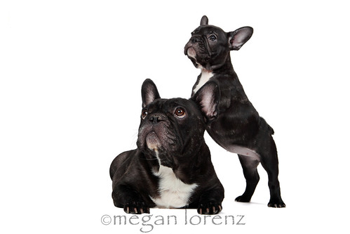 Frenchie Fever by Megan Lorenz