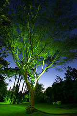 A  Magestic Tree | 120120-6044-jikatu
