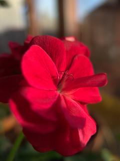 Pelargonium in Morning Light