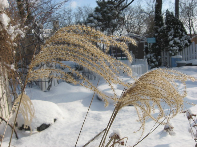 The feathery plumes of maidenhair grass seedheads. Blow on them to watch the seeds travel on the wind. Photo by Ashley Gamell.