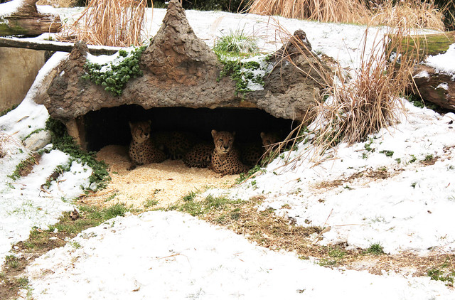 Cheetahs in their den