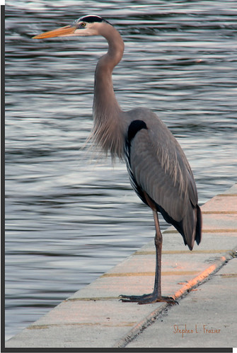blue sunset usa reflection bird heron water beautiful photography evening photo bill waves photographer unitedstates image florida dusk south gray beak feathers picture surface southern photograph puntagorda fowl greatblueheron longlegs plumes boatramp ardeaherodias charlotteharbor puntagordaisles poncedeleonhistoricalpark