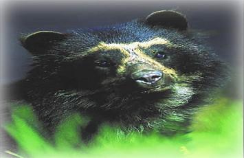 oso-de-anteojos-andino-machupicchu-cusco-peru