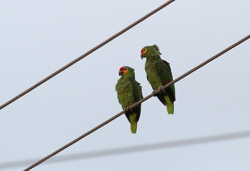 Red lored parrots by ricmcarthur