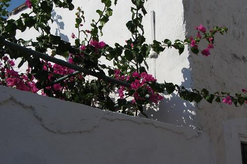 Burhaniye day 2 (Ayvalik): pink flowers