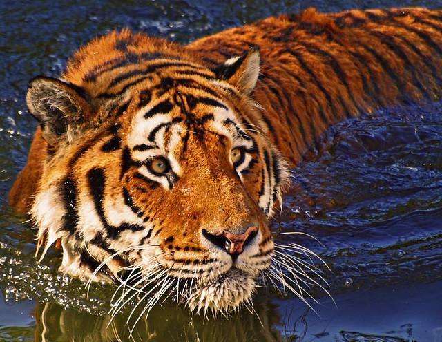 Golden Tiger Nrw